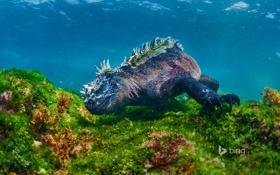 Обои ящерица, риф, Эквадор, Галапагосские острова, остров Фернандина, морская игуана