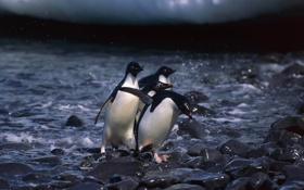 Обои вода, камни, пингвины