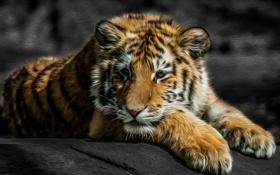 Обои взгляд, тигр, хищник