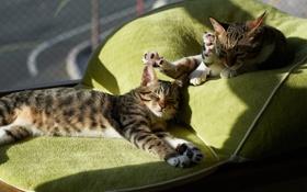 Обои кот, коты, подушки, спят, солнце