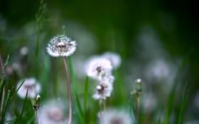 Картинка цветы, весна, одуванчики