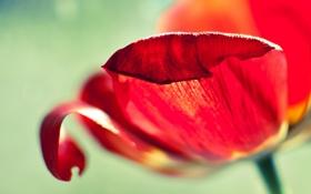 Обои макро, красный, тюльпан, лепестки