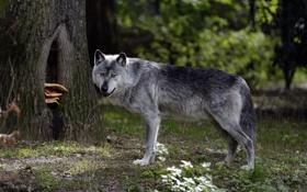 Картинка лес, природа, серый, волк, хищник