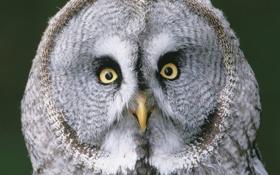 Обои сова, глаза, птицы