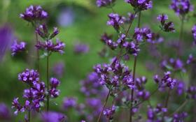 Обои травушка, фиолетбриз, цветочьки, Violet Breeze