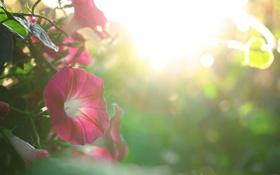 Картинка лето, цветы, красота, петунья