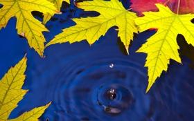 Обои природа, капля, осень, листья, вода