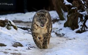 Обои снег, ирбис, снежный барс, snow leopard, прогулка