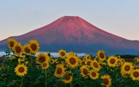 Обои поле, небо, закат, подсолнух, Япония, гора Фудзияма