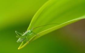 Обои зелень, лист, растение, кузнечик