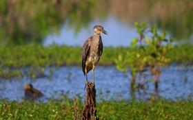 Картинка птица, болото, клюв, пень