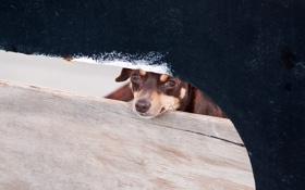 Обои забор, взгляд, собака
