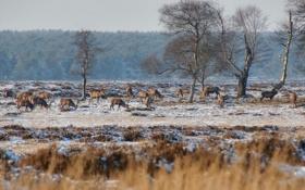 Обои зима, снег, природа, олени