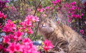 Обои кошка, цветы, природа, весна, кусты, рододендрон