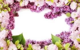 Обои фото, Цветы, Сирень, Цветущие деревья