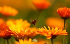 Картинка полет, цветы, пчела