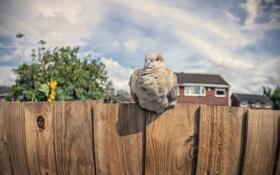 Обои птица, забор, голубь