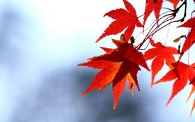 Обои осень, небо, листья, ветка, красные, клен