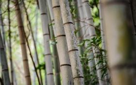 Обои деревья, полосы, стволы, фокус, бамбук, роща