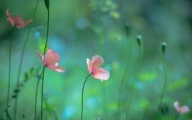Обои природа, цветы, макро, маки