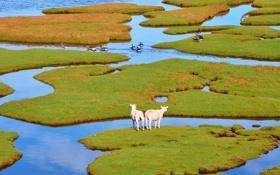 Обои зелень, трава, вода, острова, овцы, гуси