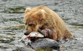Картинка река, рыба, медведь
