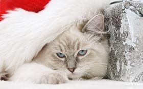 Обои кошка, голубые глаза, дремлет