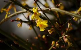 Обои цветы, куст, весна, желтые, цветение