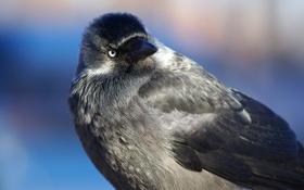Картинка взгляд, птица, галка