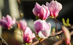 Картинка цветы, дерево, весна, магнолия