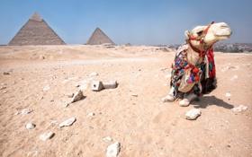Обои верблюд, пирамиды, египет