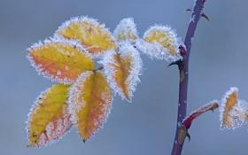 Картинка иней, осень, листья, макро, ветка, шип