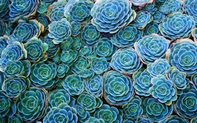 Картинка зеленый, cactus, echeveria