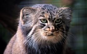 Картинка кошка, взгляд, морда, хищник, Манул