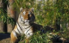 Картинка кошка, взгляд, ветки, тигр, амурский
