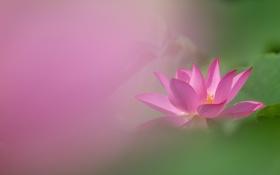 Картинка фон, розовый, размытость, лотос