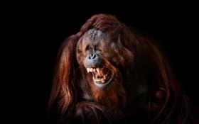 Картинка Smile, Face, Ape, Orangutan