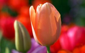 Обои цветок, тюльпан, лепестки, луг