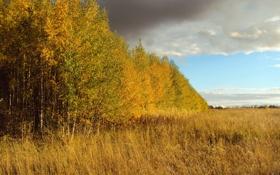 Обои поле, небо, деревья, пейзаж, природа, Осень, березы