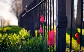 Обои тюльпаны, город, забор, цветы