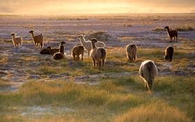 Картинка закат, трава, пустыня, небо, атакама, чили, лама