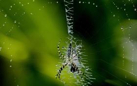 Обои капли, макро, паутина, паук