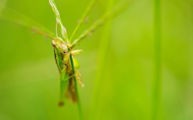 Картинка nature, macro, insect, grasshopper