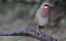 Картинка птица, полоски, ветка, серая, макро