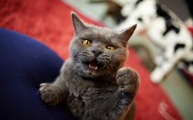Обои кот, лапа, кулак, злюка