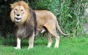 Картинка язык, кошка, трава, лев