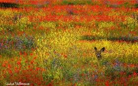 Картинка поле, цветы, животное, олень, желтые, красные