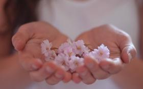 Картинка розовый, обои, фон, цветочки, нежный, руки, цветы