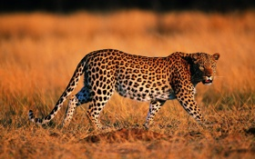 Обои природа, Леопард, хищник, окрас