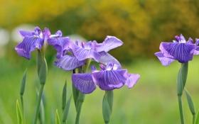 Обои цветы, ирисы, цветение, синие